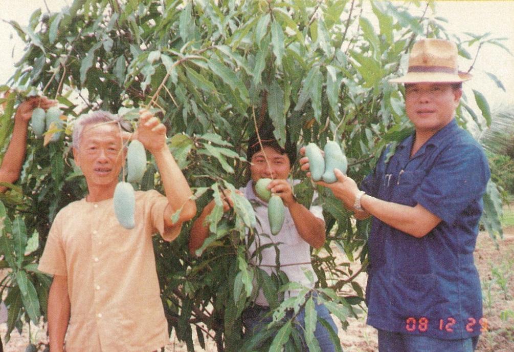 芒果結滿枝