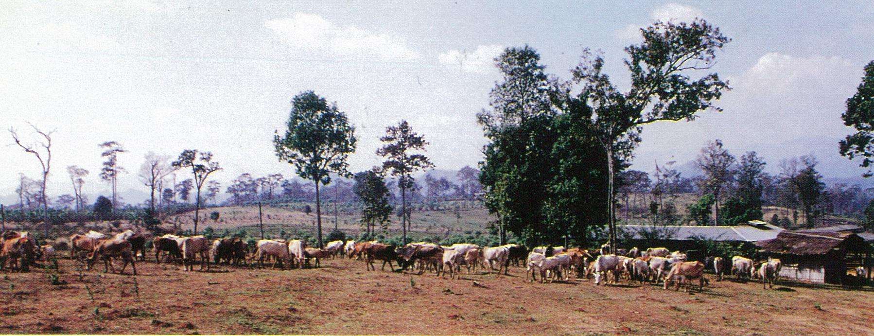 輔導難民村成立牧場,發展畜牧事業